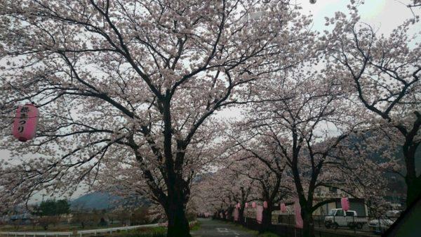 徳島堰の桜