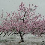 桃の花に雪