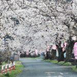 徳島堰の桜並木2021